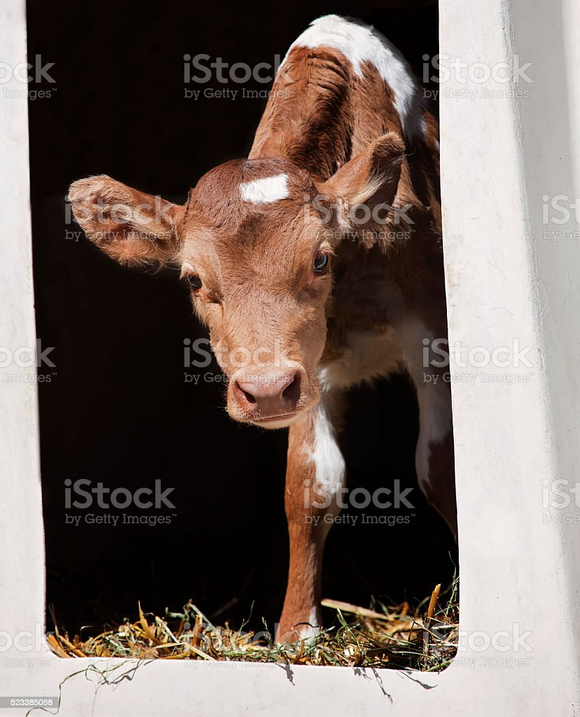 Guernsey calf stock photo