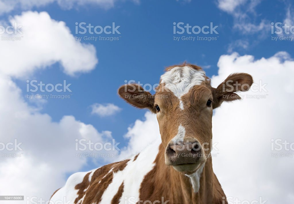 Guernsey cow with bad camouflage against a cloud backdrop stock photo