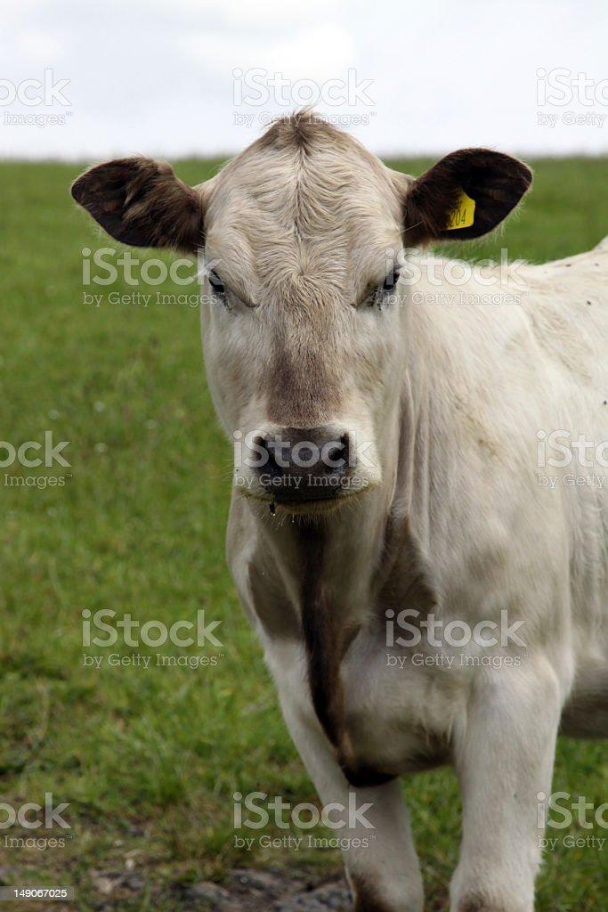 Гернси Молочный ВОЛОВЬЮ КОЖУ Стоковые фото Стоковая фотография
