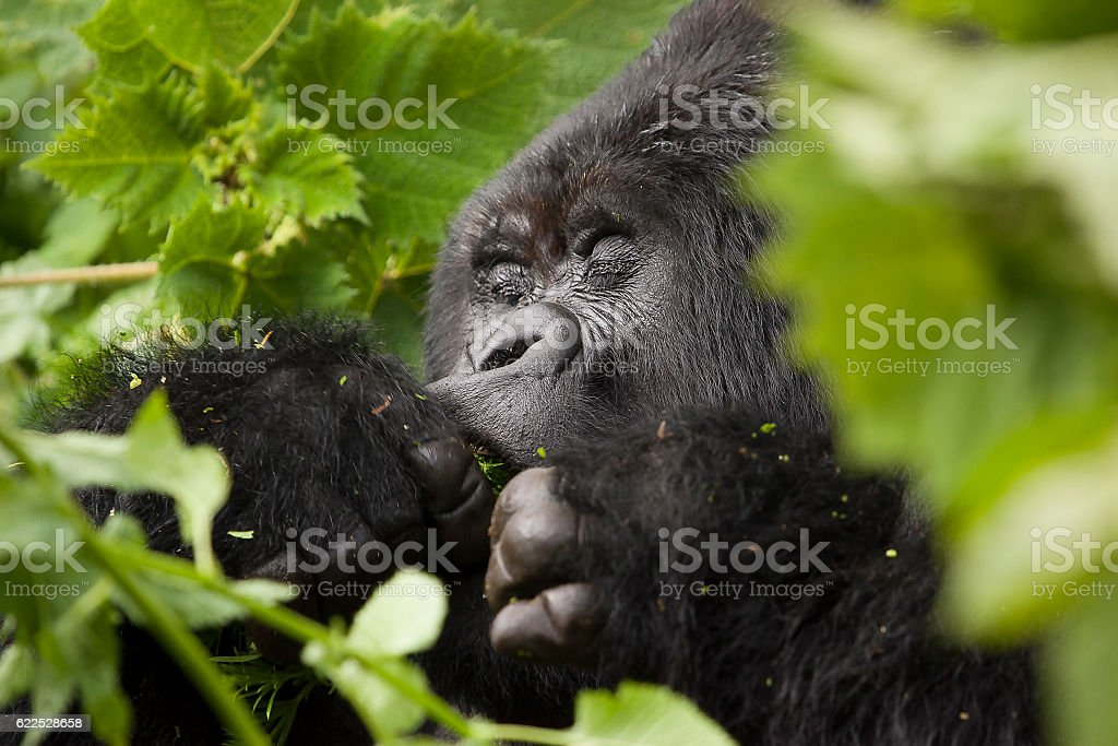 Guhonda Silverback Gorilla Portrait stock photo