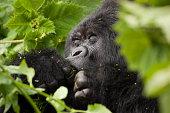 Guhonda Silverback Gorilla Portrait