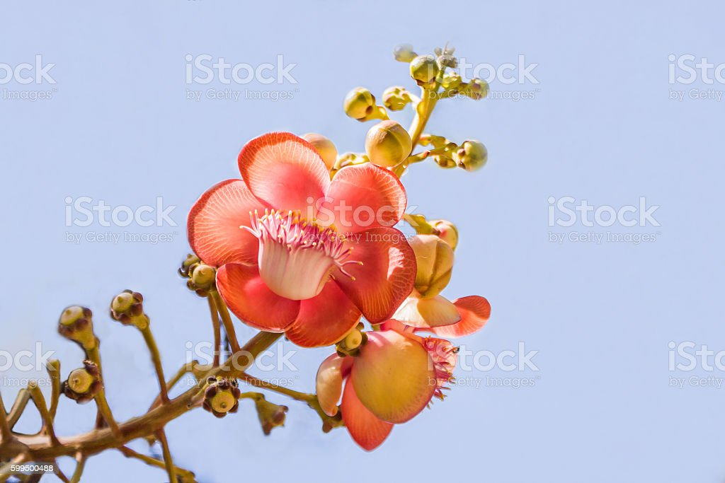 Guianensis Or Cannonball Tree stock photo