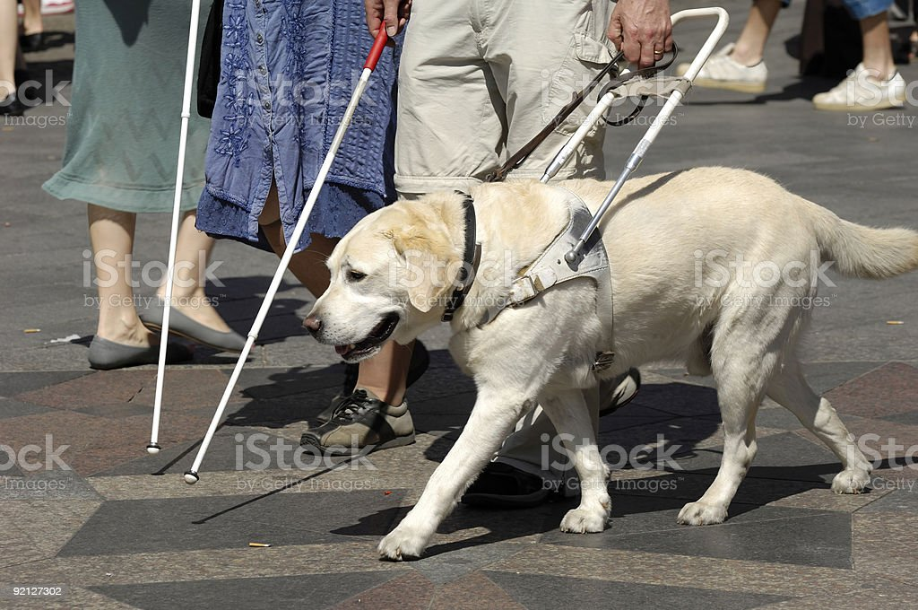 Guide dog stock photo