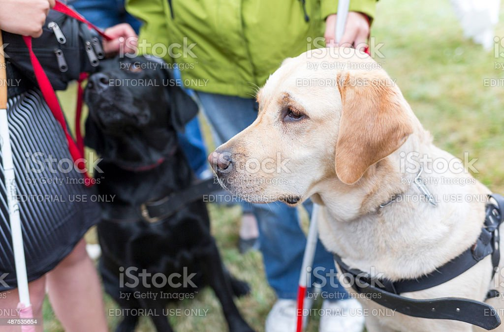 Guide dogs stock photo