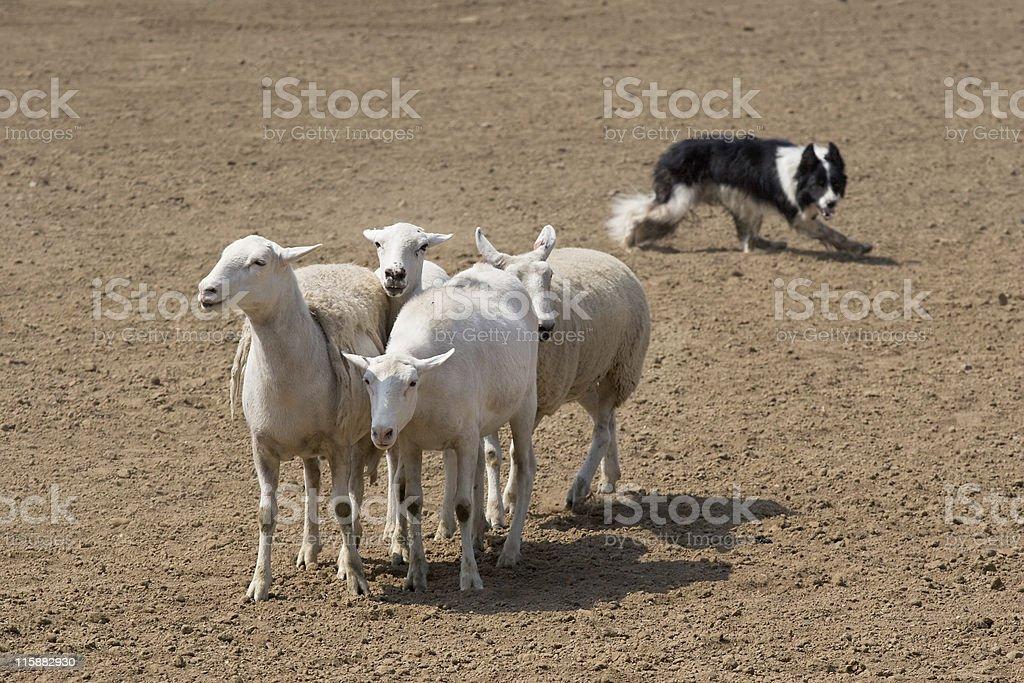 Guiding the Sheep stock photo