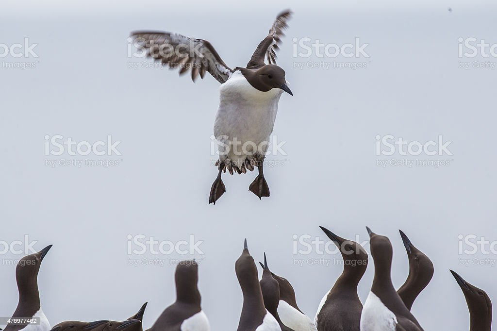 Guillemot landing stock photo