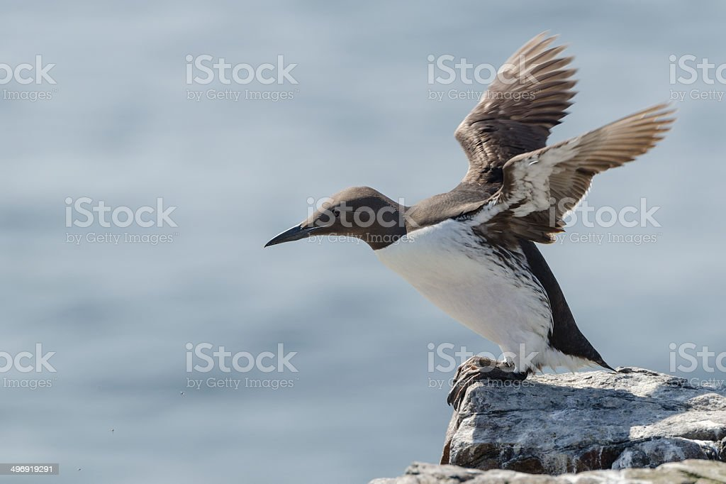 Guillemot stock photo