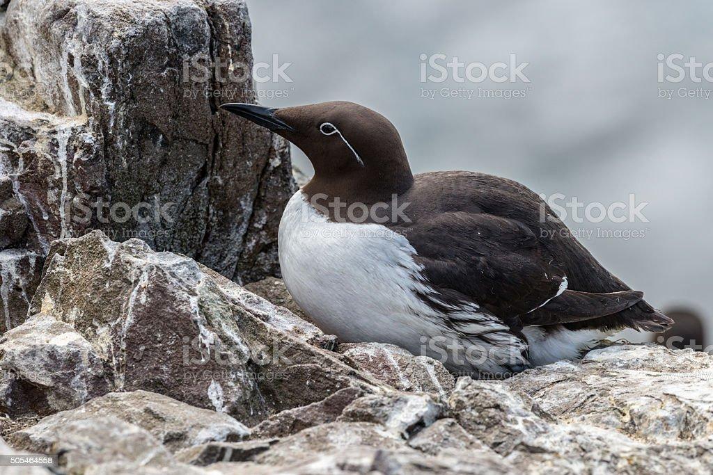 Guillemot sitting on cliff ledge nest stock photo