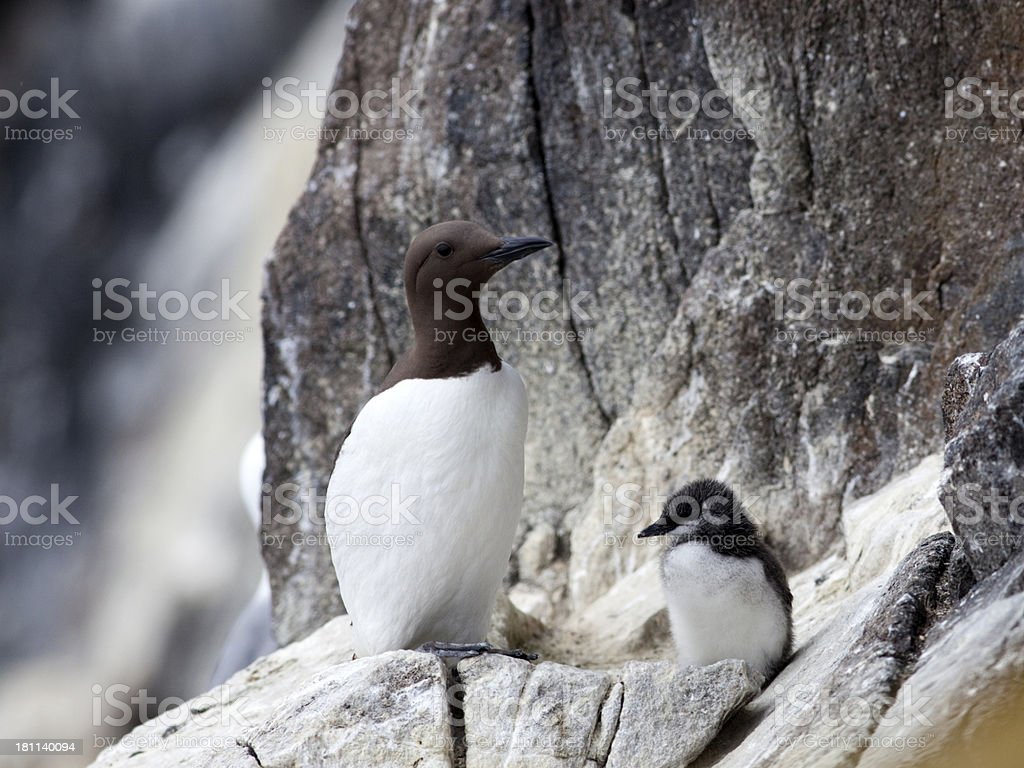 Guillemot with Chick, Isle of May, Scotland stock photo