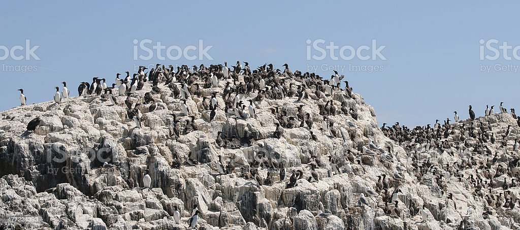 Guillemots and chicks stock photo