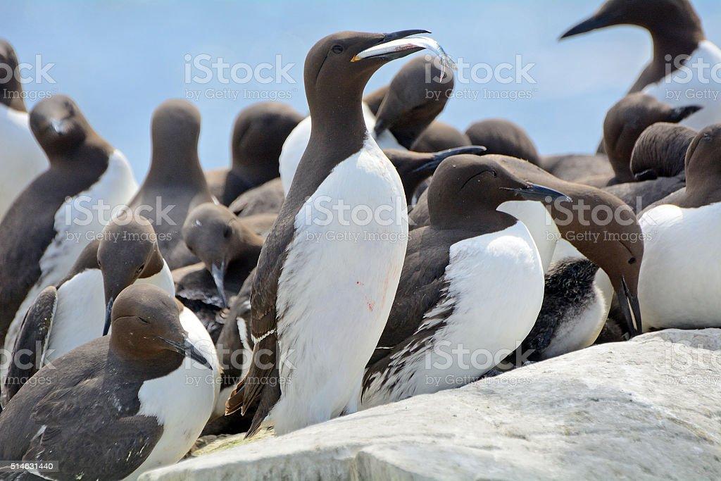 Guillemots, Farne Islands Nature Reserve, England stock photo