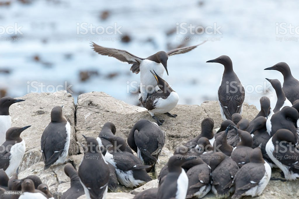 Guillemots mating in colony stock photo