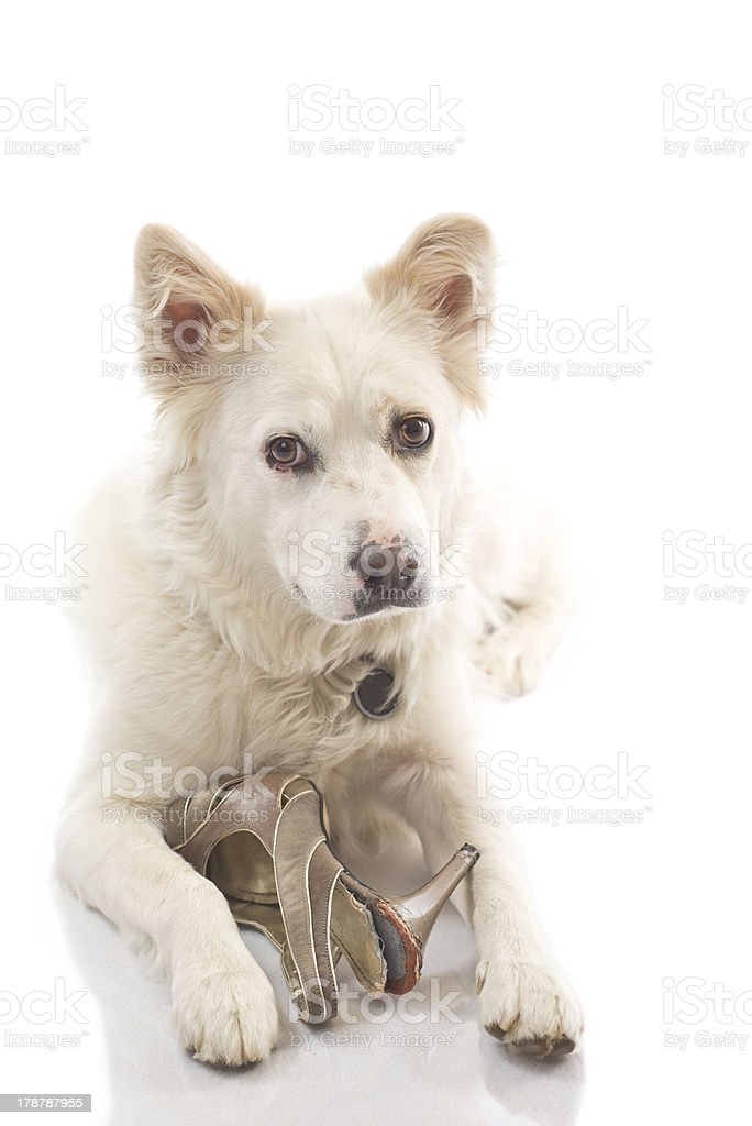 Guilty Dog with Chewed Shoe stock photo