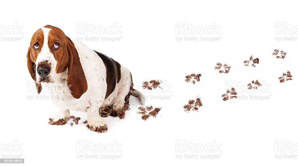 Guilty Dog With Muddy Paws stock photo
