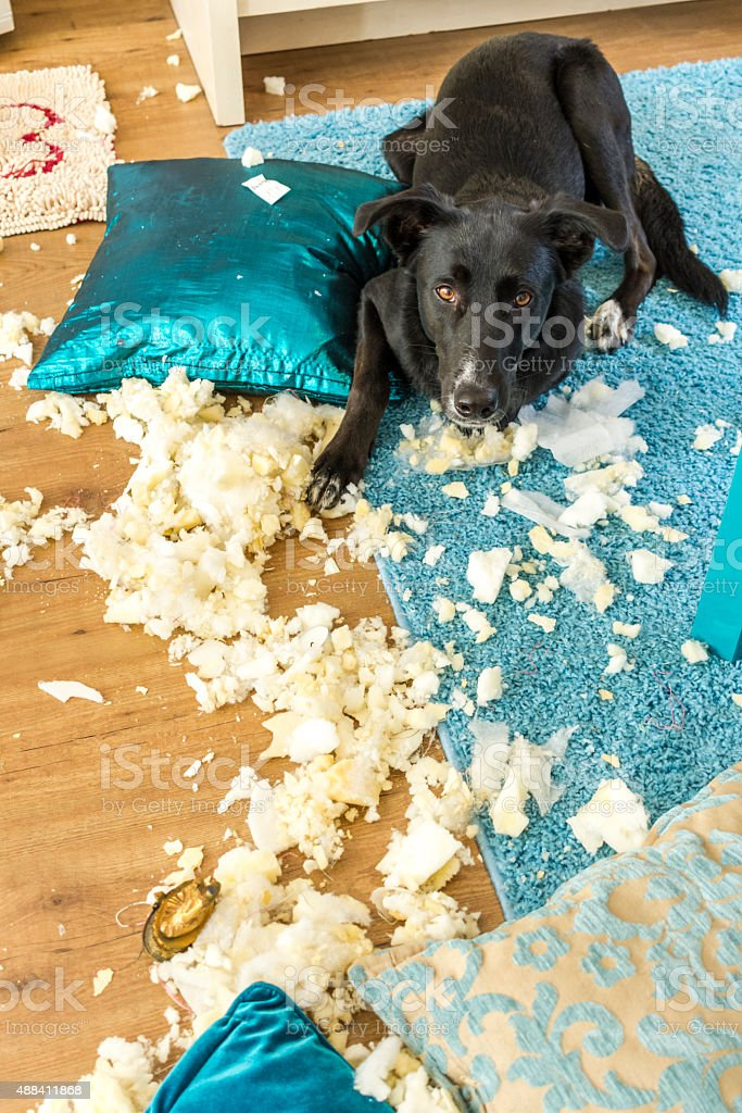 Guilty Dog with the Remains of a Cushion stock photo