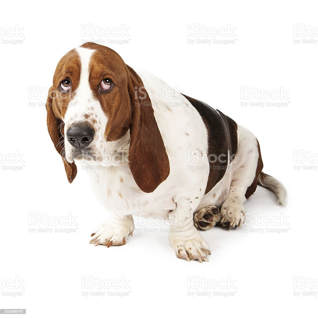 Guilty Looking Basset Hound stock photo