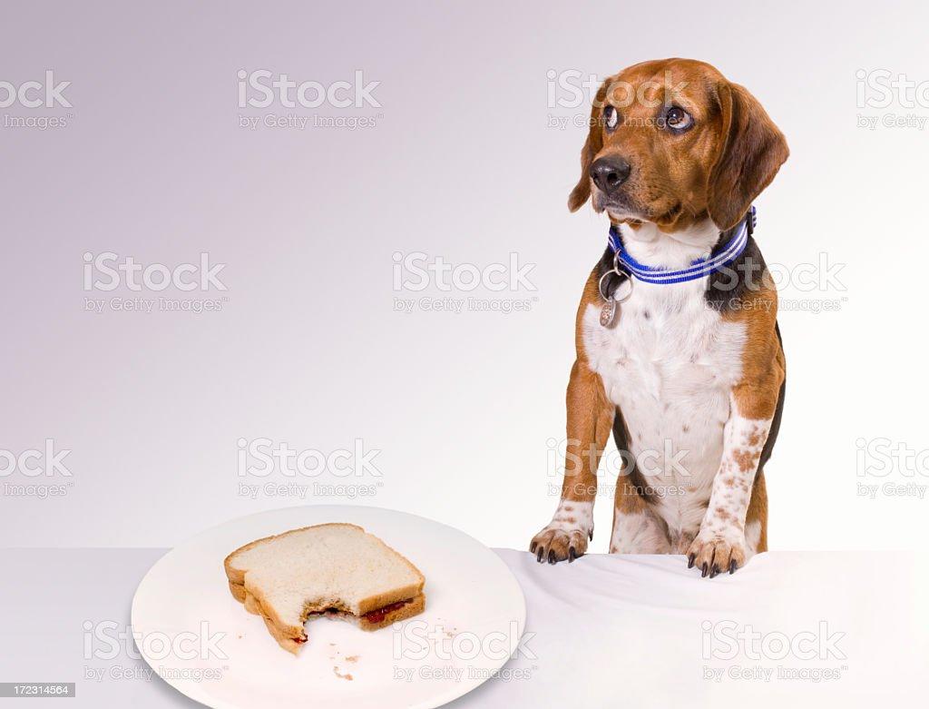 Guilty looking puppy near an eaten sandwich on a white plate stock photo