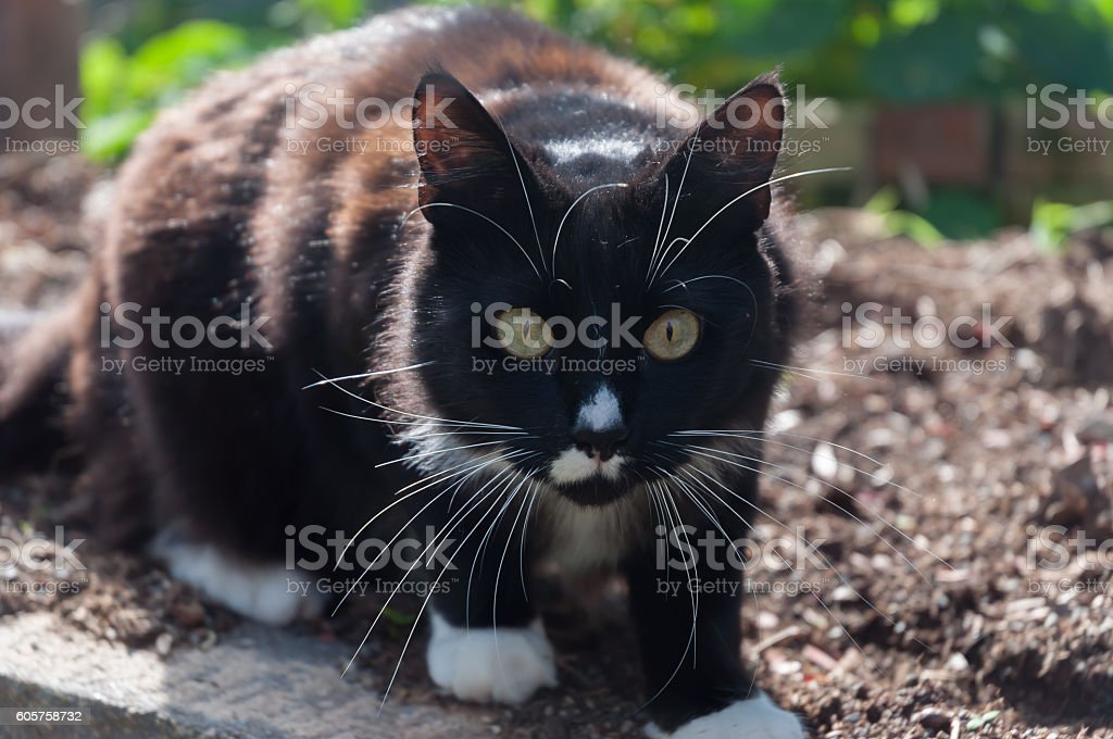 Guilty Thing Surprised - Tuxedo Cat stock photo