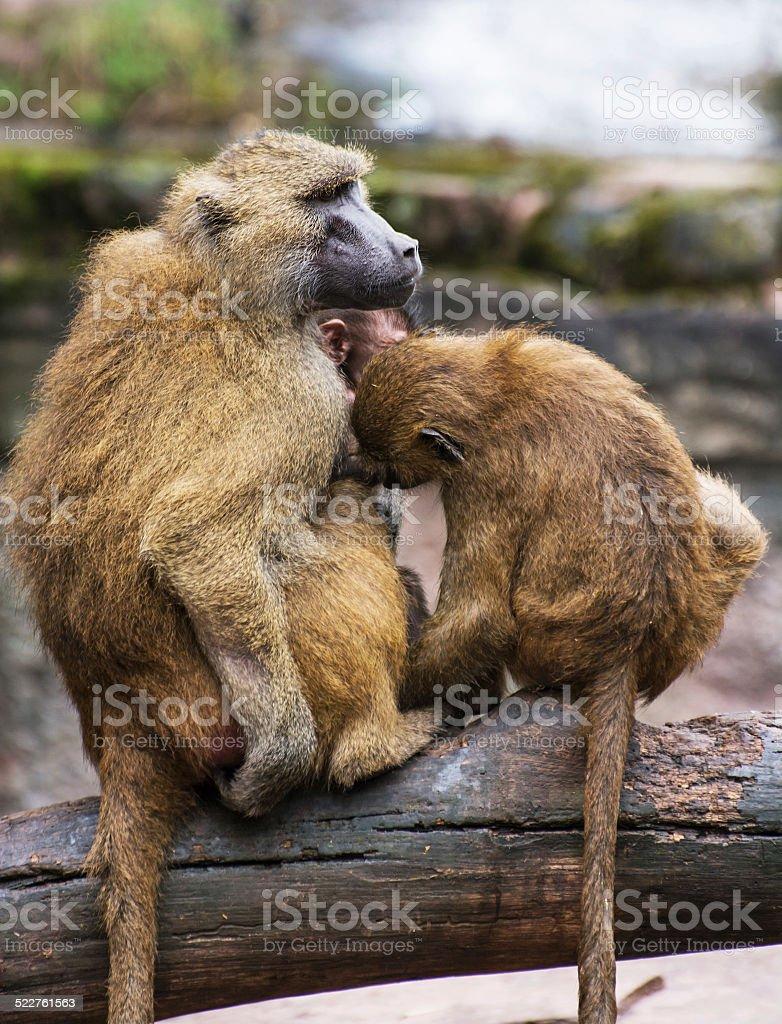 Guinea baboon family photo stock photo