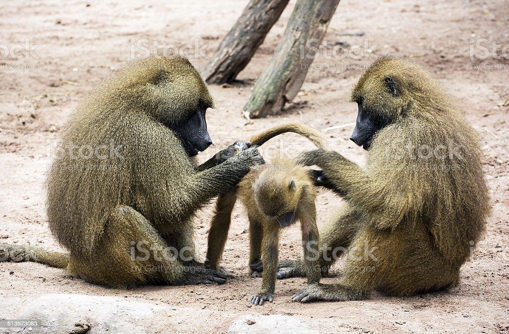 Guinea baboon family (Papio papio) stock photo