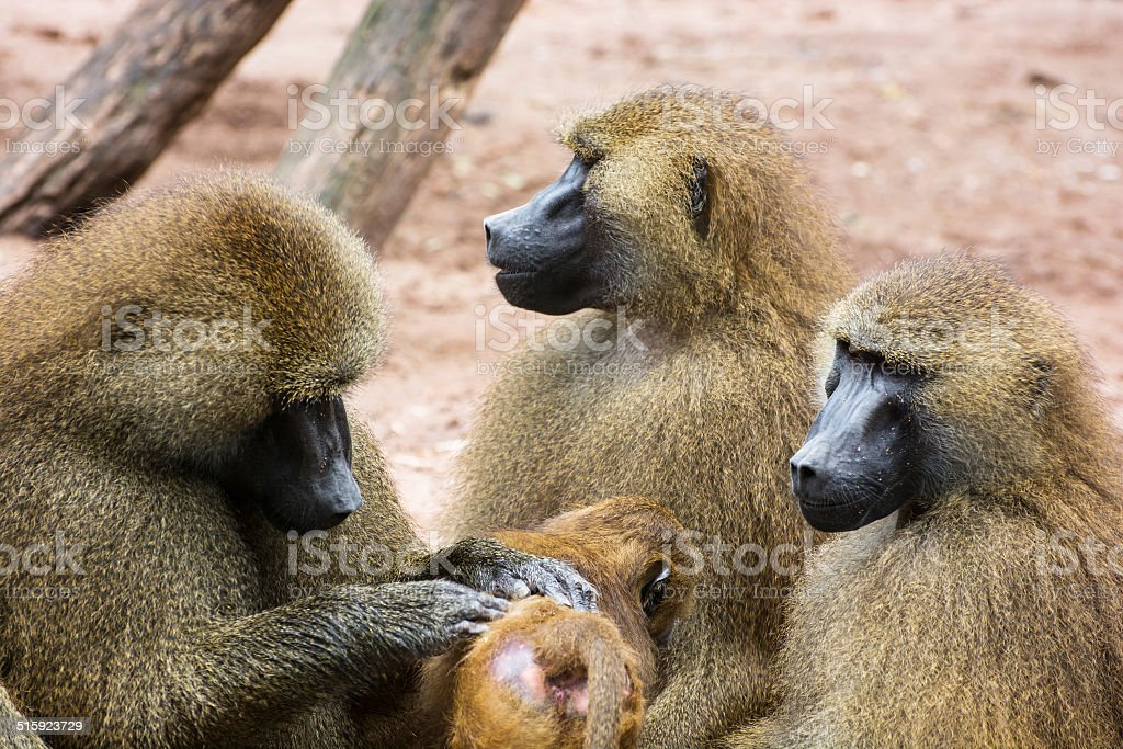 Guinea baboon family stock photo