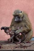 Guinea baboon (Papio papio).