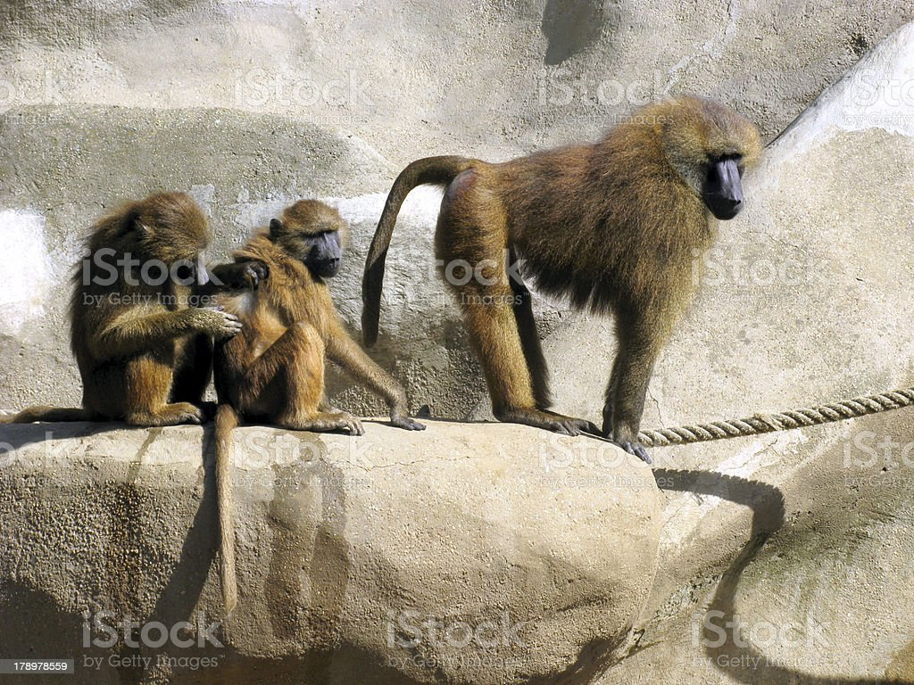 Guinea baboons on rock royalty-free stock photo