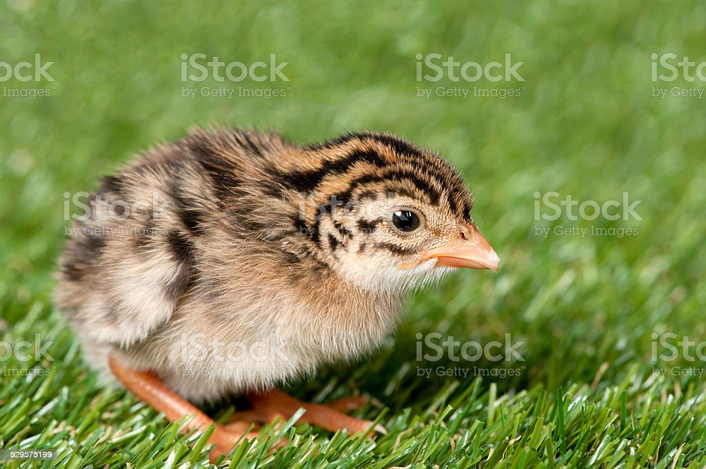Guinea fowl hatchling stock photo