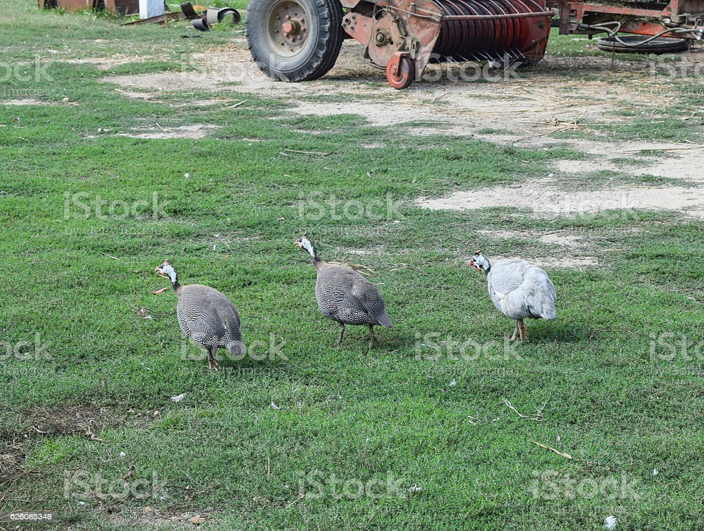 Guinea fowl on the green grass stock photo