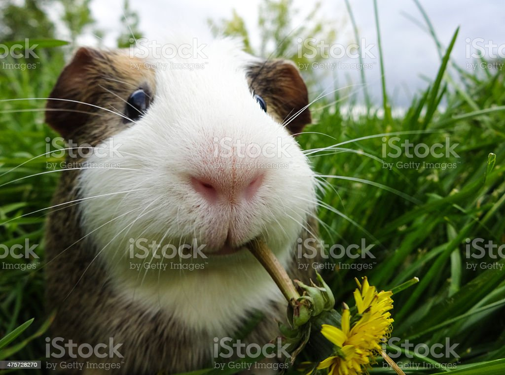 Guinea Fun stock photo
