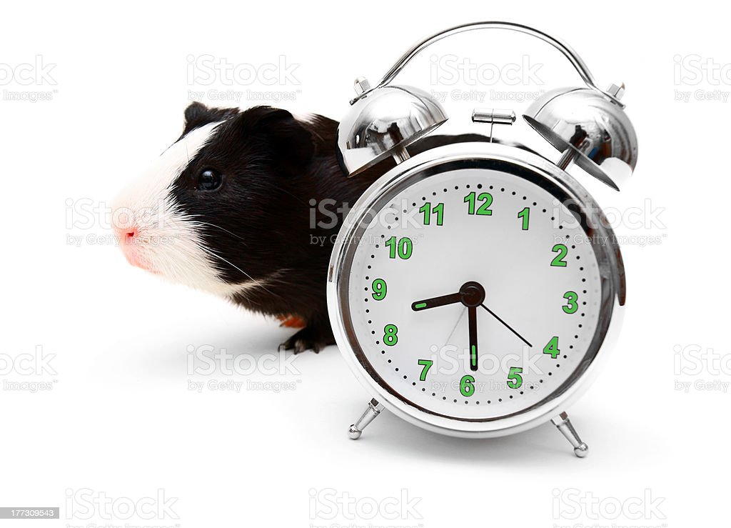 guinea pig and alarm clock on the white. royalty-free stock photo