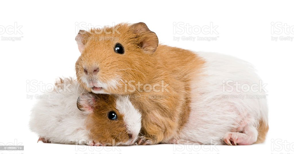 Guinea pig and her baby in front of white background stock photo