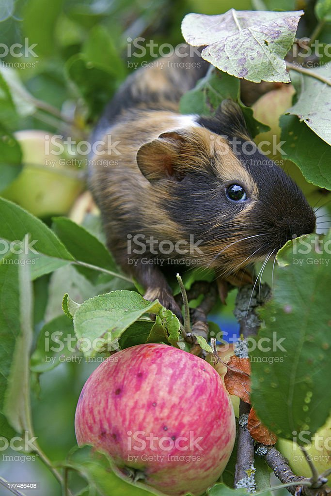 Guinea Pig, apple royalty-free stock photo