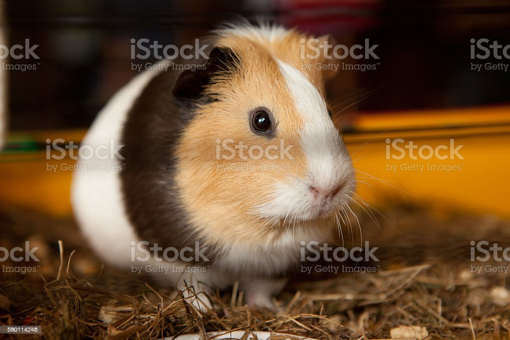Guinea pig, Cavia porcellus, popular household pet stock photo