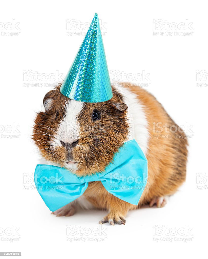 Guinea Pig Dressed For Birthday Party stock photo