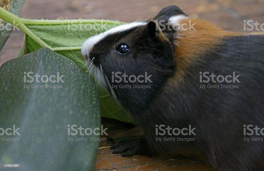 Guinea pig eats royalty-free stock photo
