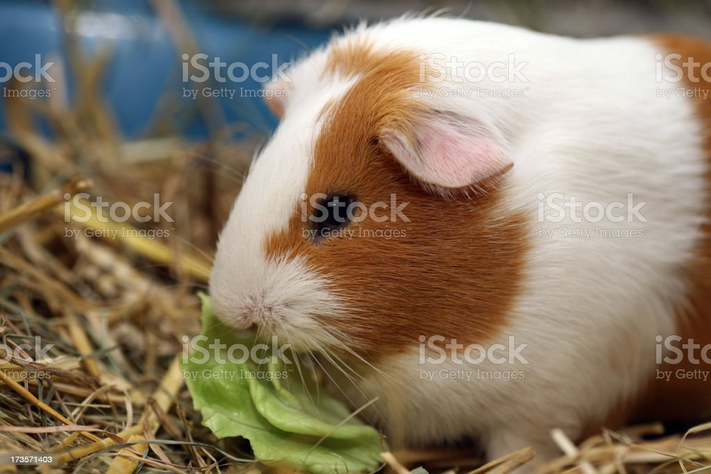 Guinea pig feeding salad royalty-free stock photo