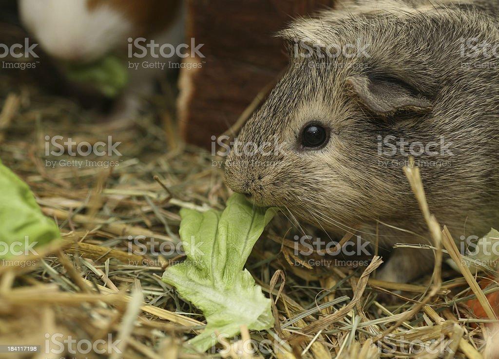 Guinea pig feeding salad stock photo