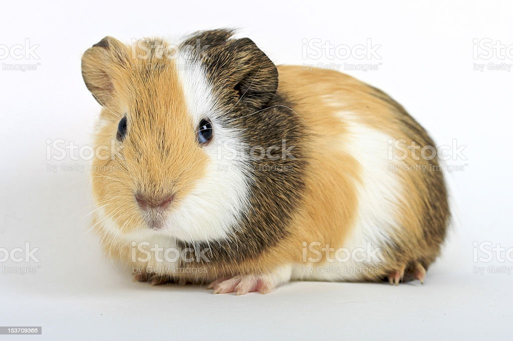 Guinea Pig Ginger, White and Brown stock photo