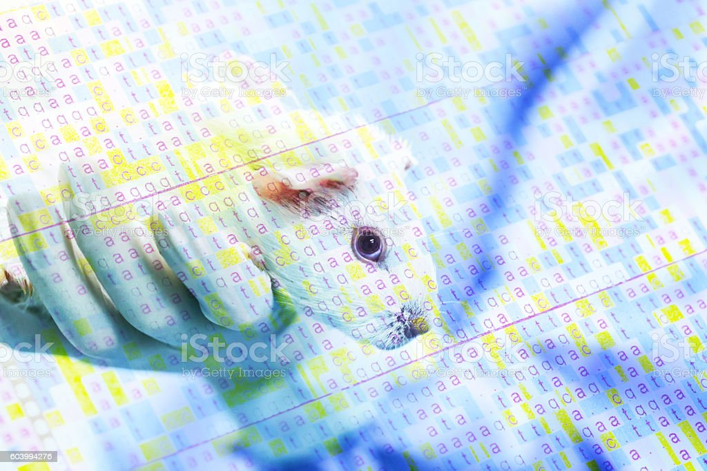 Guinea pig hold by researcher hand in lab stock photo