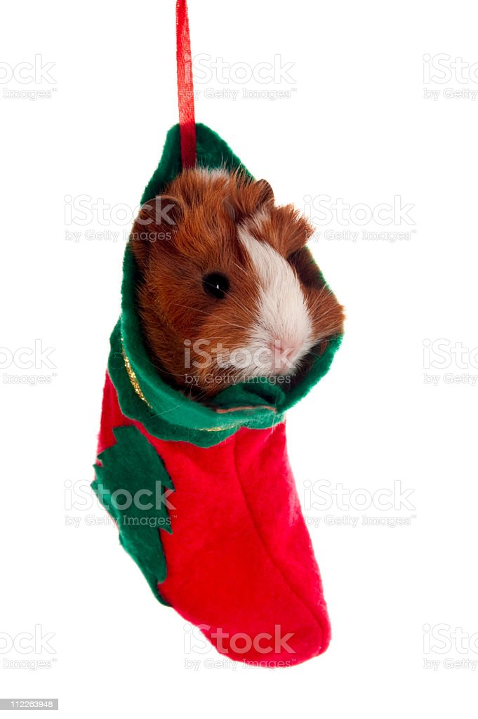 Guinea Pig in a christmas stocking stock photo