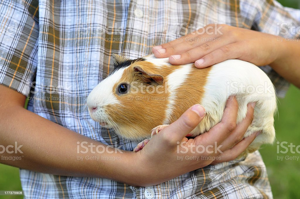 Guinea pig in child's hands stock photo