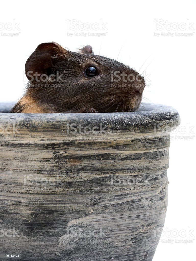 Guinea pig in pot royalty-free stock photo