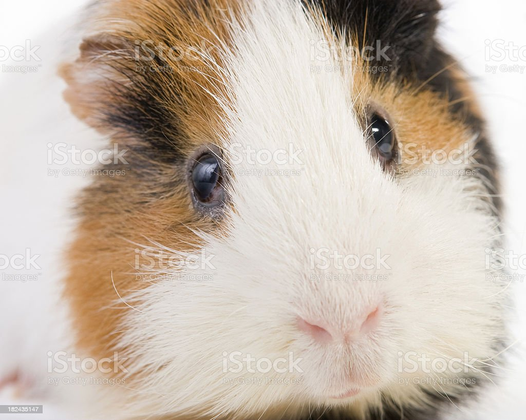 Guinea pig looking at camera. royalty-free stock photo