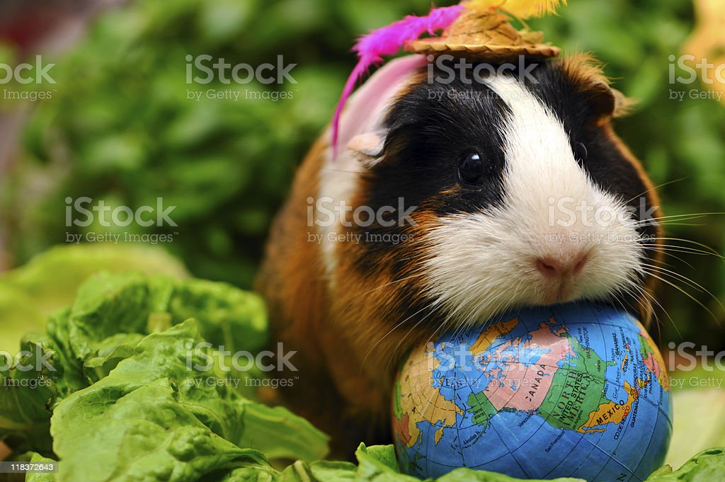 Guinea pig - lord of the world stock photo