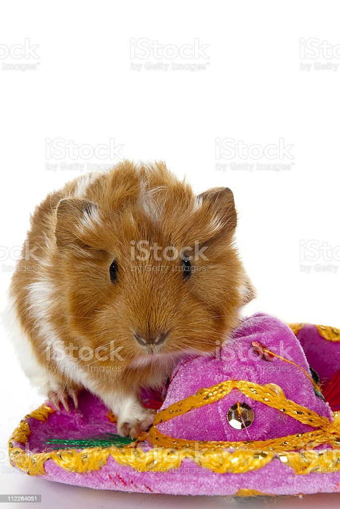 Guinea Pig on a sombrero royalty-free stock photo
