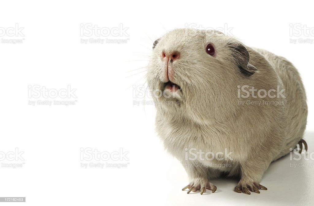 Guinea Pig on white stock photo
