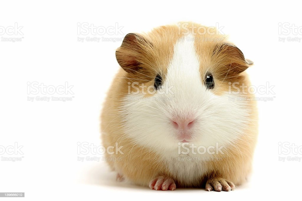 guinea pig over white stock photo