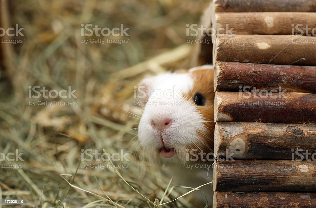 Guinea pig peeking out of his hut stock photo