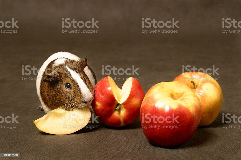 guinea pig stock photo